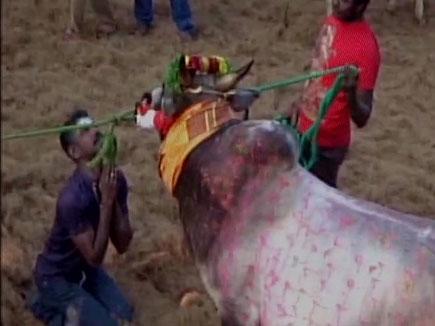 तमिलनाडु के अवनीपुरम में जल्लीकट्टू के दौरान 37 घायल