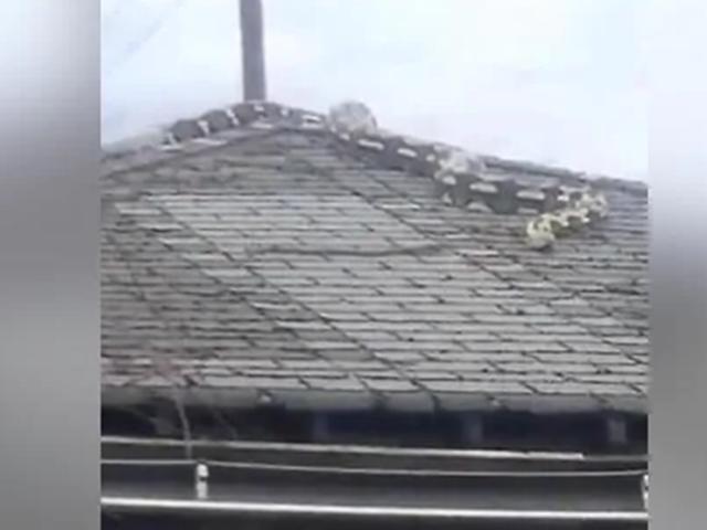 Viral Video : 18 फीट का अजगर पहुंचा डेट्रॉइट के घर की छत पर, वीडियो हो रहा वायरल