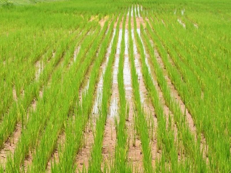 Kharif Crops Purchase : खरीफ फसलों की समर्थन मूल्य पर खरीदी के लिए पंजीयन आज से