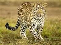 भाेपाल के राजा भोज इंटरनेशनल एयरपोर्ट पर घुसा तेंदुआ, अफरातफरी