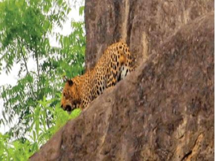 VIDEO धमतरी : तेंदुआ दिखने से दहशत, घरों में छुपकर बैठे हैं ग्रामीण