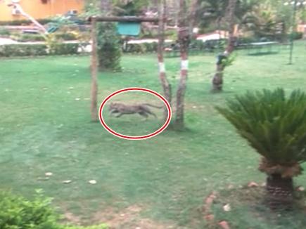 मप्र : पेंच में  टूरिज्म के रिसॉर्ट में घुसा तेंदुआ
