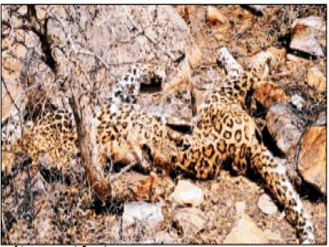 Gwalior : लू के थपेड़ों और जंगल में पानी नहीं मिलने से तेंदुए की मौत