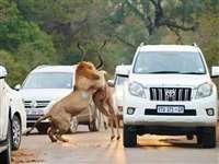 दो शेरों ने बीच सड़क किया शिकार