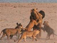 बहादुर हाथी ने किया 14 शेरों का मुकाबला