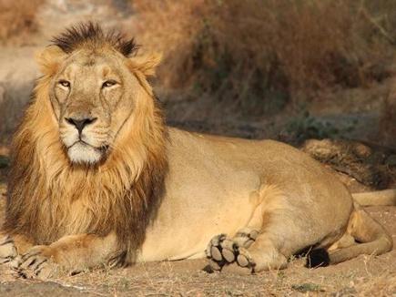lion 14 11 2017