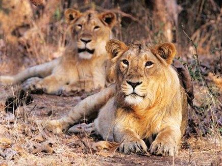 गुजरात में शेरों की मौत का सिलसिला जारी, एक शेर का शव मिला, दूसरा कुंए में गिरा