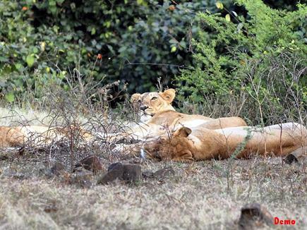 गिर वन में मृत पाए गए 11 शेर, गुजरात सरकार ने दिए जांच के आदेश