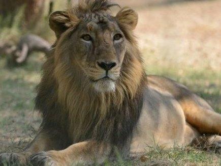 गिर में अब तक 23 शेरों की मौत, सुप्रीम कोर्ट ने जताई चिंता
