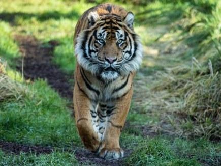 लंदन के चिड़ियाघर में पहली ही मुलाकात में बाघ ने किया बाघिन का शिकार