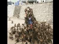 पर्यटक पर चढ़े बंदरों के वायरल फोटो के साथ ऐसे हुई छेड़छाड़