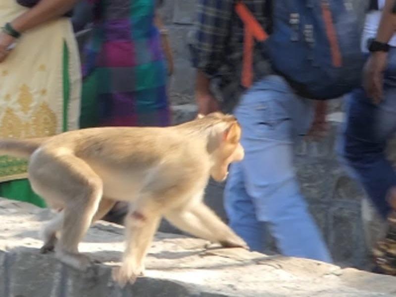 Korba : यहां ग्रामीणों के लिए आफत बने बंदर, हमले के 12 लोग घायल