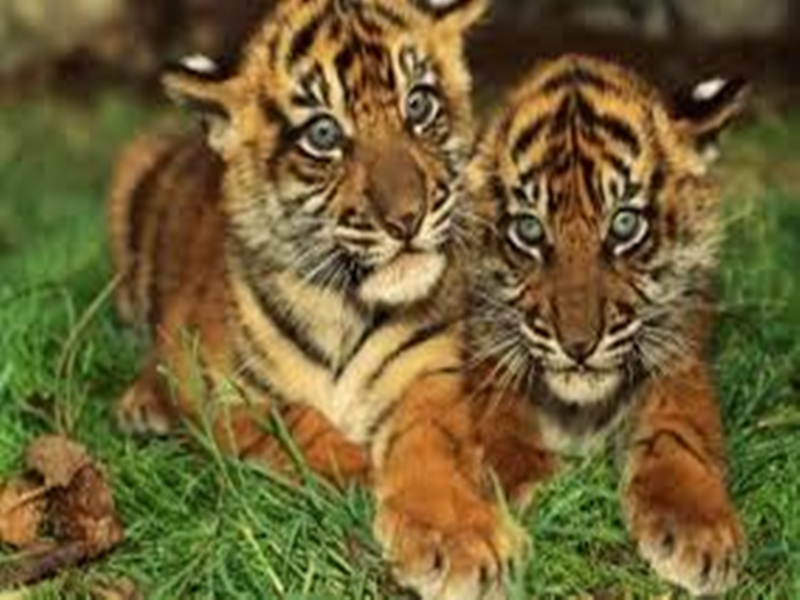 बाघों की सुरक्षा में जुटी मध्यप्रदेश सरकार, 81 करोड़ रुपए खर्च होंगे