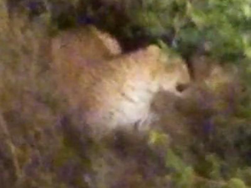 Betul News : बैतूल-सारणी मार्ग पर नजर आया तेंदुआ, वन विभाग कर रहा तलाश