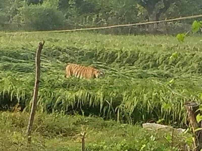रायसेन जिले के सिरवारा गांव में घुसा बाघ, आठ घंटे की मशक्कत के बाद पकड़ाया