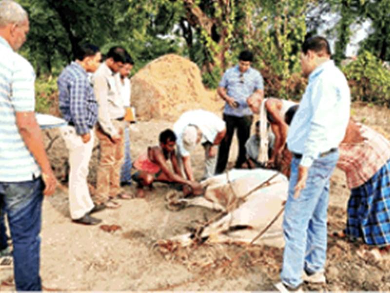 Lumpy Skin Disease : गाय और बैल में लंफी चर्म रोग की शिकायत, छह मवेशियों के दाएं पैर में सूजन