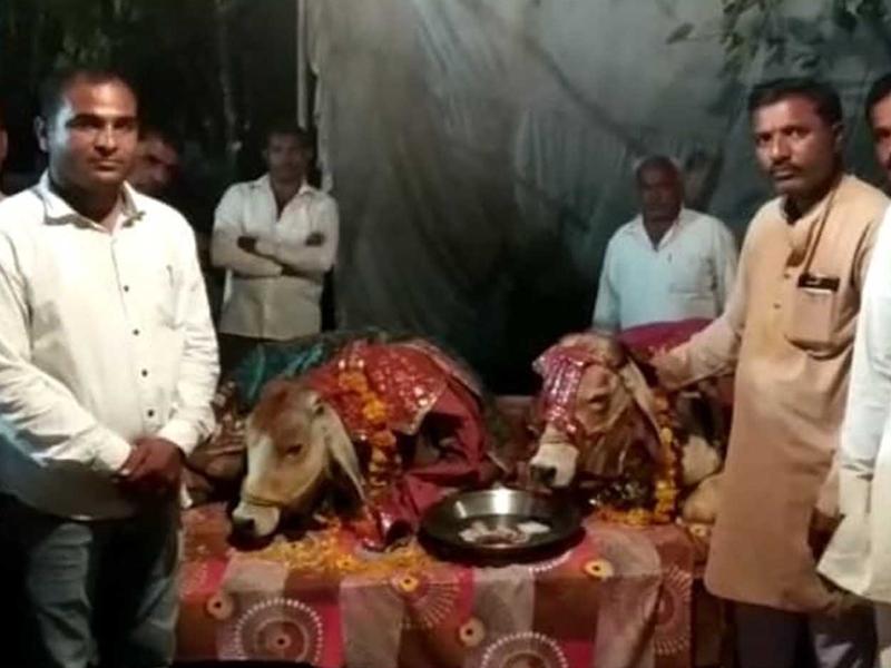 सीहोर जिले में गाय और नंदी का कराया विवाह, 11 घोड़ियों के साथ निकाली बारात