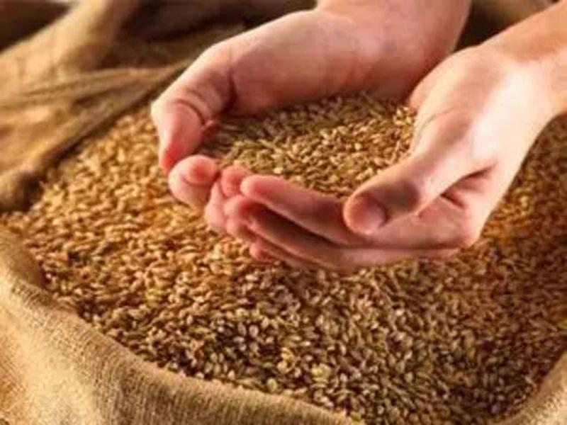 मध्यप्रदेश में गेहूं के बोनस में अटका पेंच, धान खरीदी से पहले नहीं होगी घोषणा
