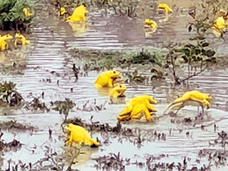 Yellow Frog : नरसिंहपुर के आमगांव में निकले दुर्लभ प्रजाति के मेंढ़क, देखें VIDEO