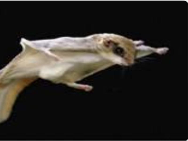 Khandwa News : उड़ने वाली दुर्लभ प्रजाति की गिलहरी को रास आया खालवा का जंगल