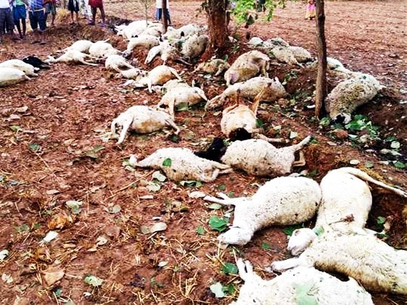 Shipuri News : श्यामपुर में 52 भेड़ों की मौत, वन्य प्राणी के पंजे दिखने से गांव में दहशत