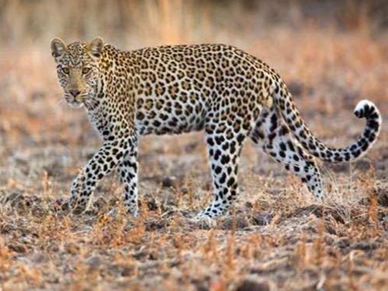 Leopard count in Madhya Pradesh : तेंदुओं की संख्या में भी मध्यप्रदेश के अव्वल रहने की उम्मीद, इसी माह आएंगे आंकड़े