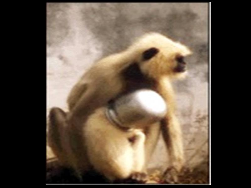 Bilaspur : बंदर के सिर में फंसा लोटा, बिना रेस्क्यू किए टीम लौटी