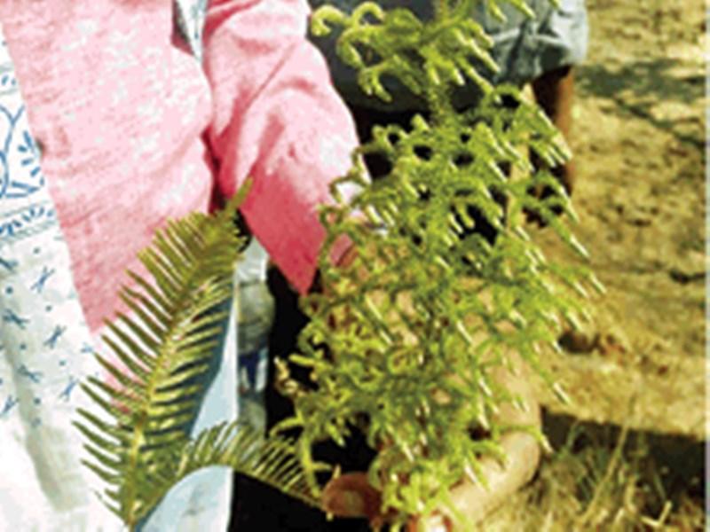 Scientific Discovery : छत्तीसगढ़ के कोरबा में मिला लीवर को मजबूती देने वाला 5 करोड़ साल पुराना पौधा