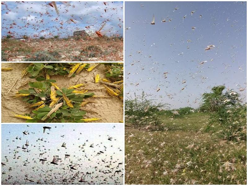 Tiddi Dal Attack : राजस्थान में इस बार टिड्डी का प्रकोप दो से तीन गुना बढ़ने की आशंका