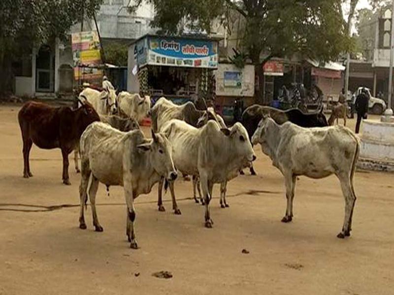 Madhya Pradesh News :  आगर-मालवा में ठंड के कारण एक माह में 500 से अधिक लावारिस गायों की मौत