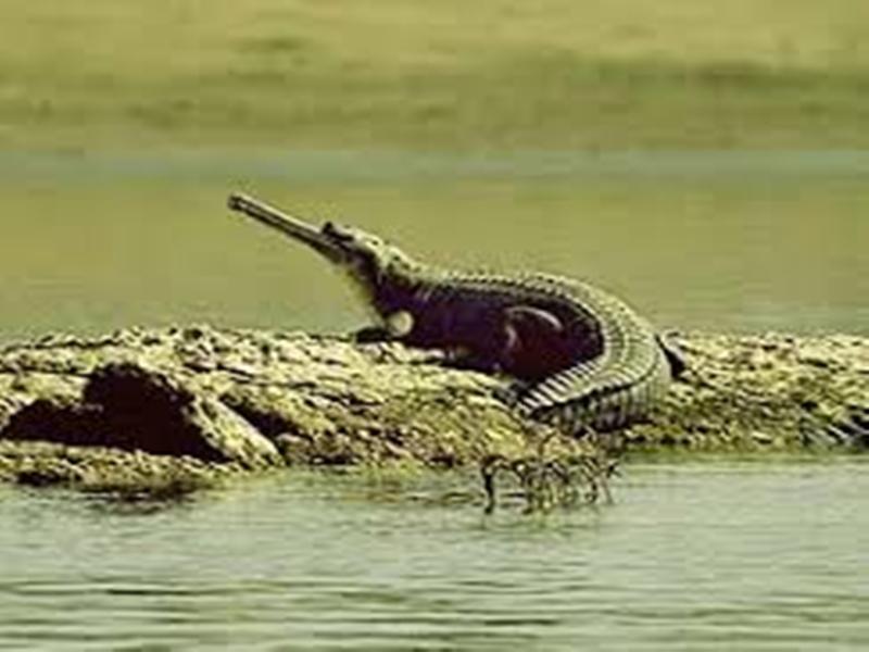 Morena News : पंजाब की व्यास नदी होगी चंबल के 50 घड़ियालों का नया घर