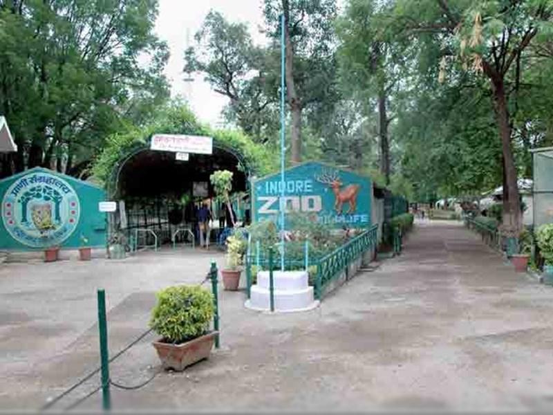 Indore Zoo : इंदौर चिड़ियाघर में शेरनी बिजली ने दो शावकों को दिया जन्म