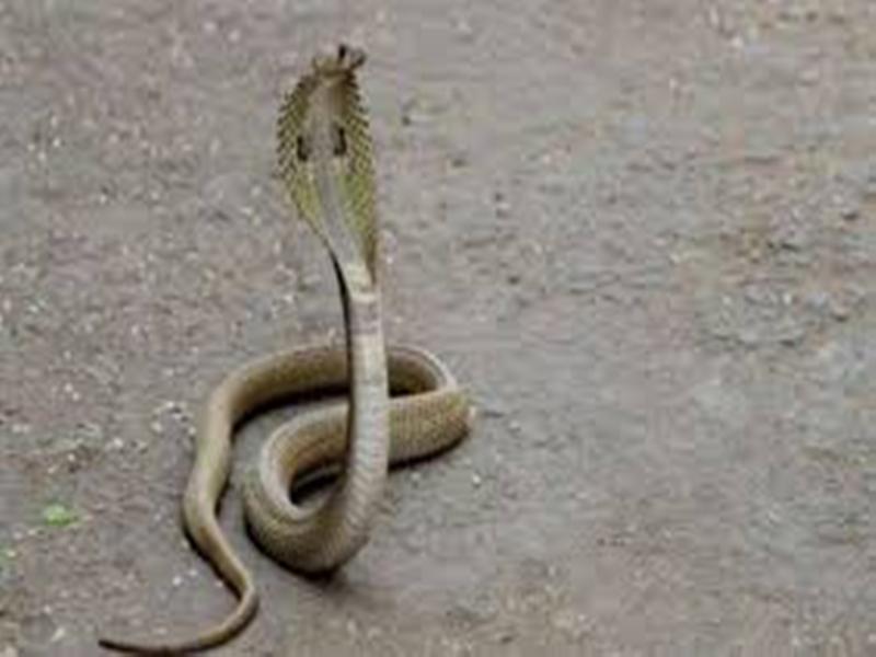 Madhya Pradesh News :  बैतूल के मेले में सपेरों से मुक्त कराए छह सांप, सिल दिए थे मुंह