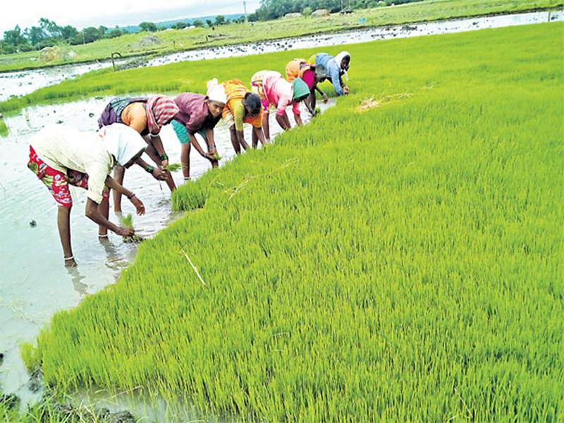 Ambikapur News: गर्मी में सरगुजा के खेतों में लहलहा रही धान की फसल, ऐसे हुआ ये कमाल
