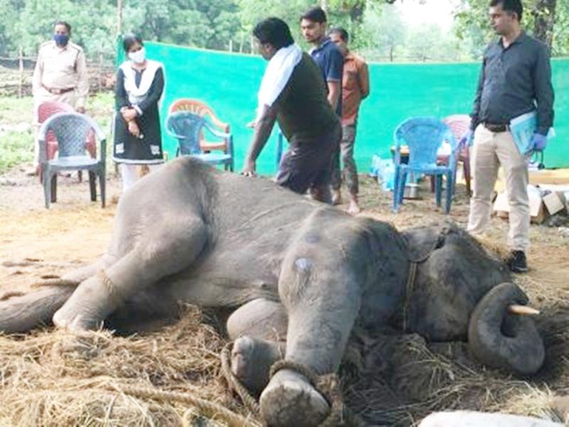 Korba Elephant News : 1600 kg के बीमार हाथी का लिया एक्सरे, रिपोर्ट में हुआ ये खुलासा