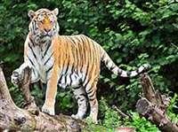 Madhya Pradesh News : पन्ना टाइगर रिजर्व में युवा बाघ की संदिग्ध मौत