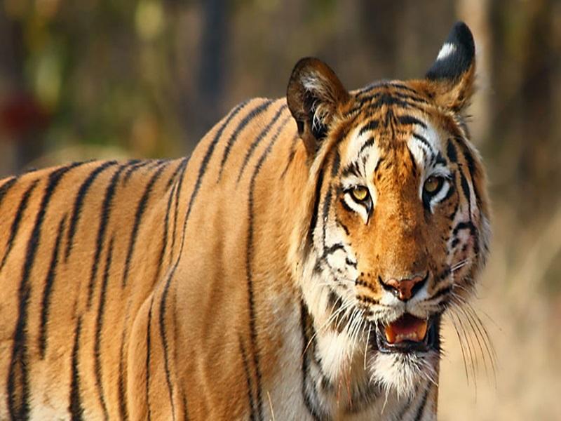 Tiger Conservation : बाघिन करेगी ट्रेन का सफर, रेलवे देगा सवा लाख रुपए का 'टिकट'