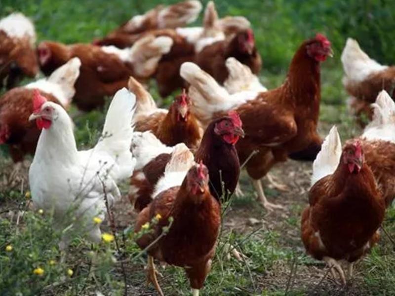 Bird Flu की दस्तक,  हजारों मुर्गियों को दफना दिया
