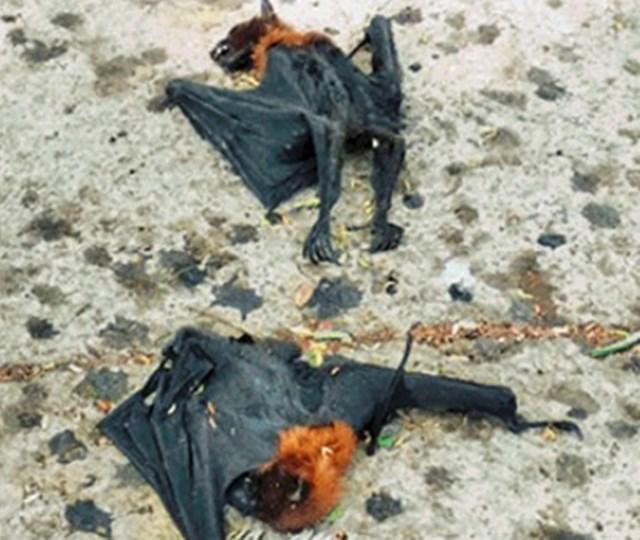 आगर-मालवा में गर्मी से मरे चमगादड़