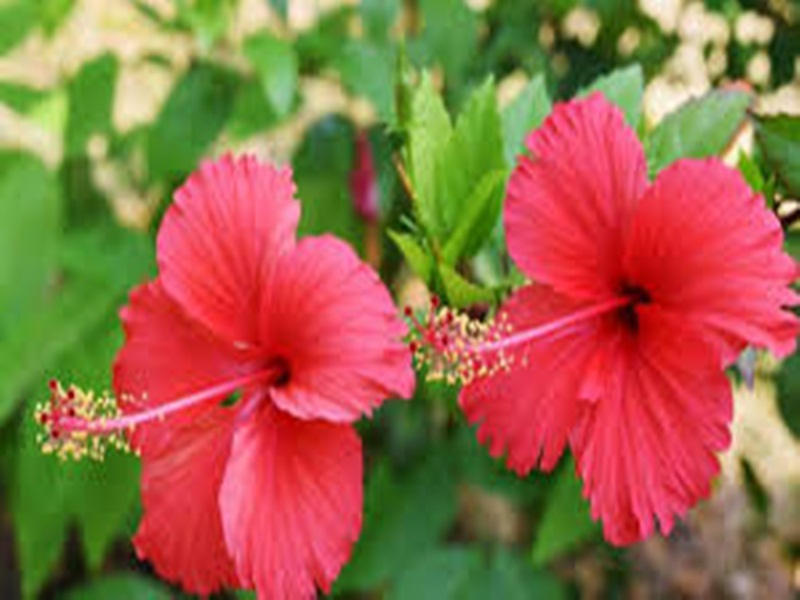 Chaitra Navratri 2020: यह है देवी का अतिप्रिय फूल, इससे होते हैं नवग्रह के दोष दूर