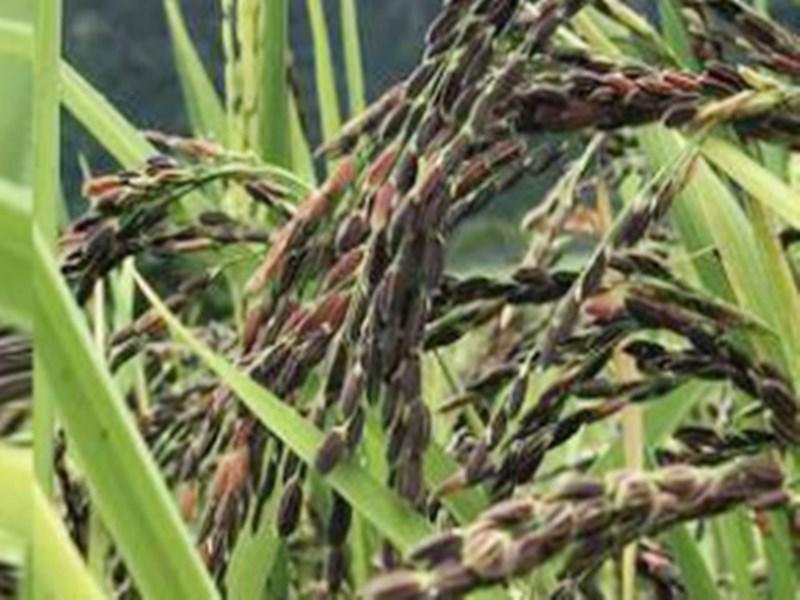 Black Rice : सिवनी में सेहतमंद काला चावल उगा रहीं महिलाएं, जैविक खेती से बढ़ रहा उत्पादन
