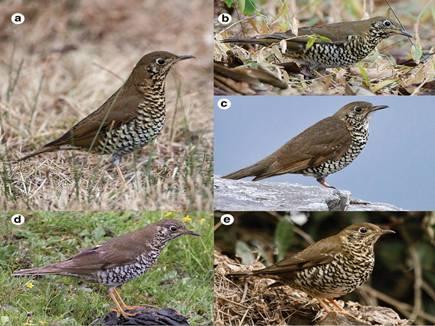 भारत में मिलीं सुरीली चिड़िया की नई प्रजातियां