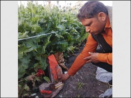 Madhya Pradesh: यहां पूजन के बगैर अफीम के खेतों में कदम नहीं रखते किसान