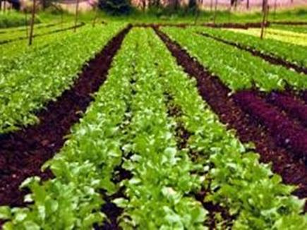 कम लागत में श्री व कतार पद्धति से करें खेती, कमाई होगी लाखों में