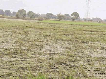 धमतरी : सावन की झमाझम से डूबी धान की फसल, किसान परेशान