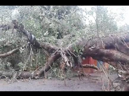 VIDEO : महू में स्कूल भवन पर बरगद का पेड़ गिरा, छत-दीवारें क्षतिग्रस्त, बच्चे सुरक्षित