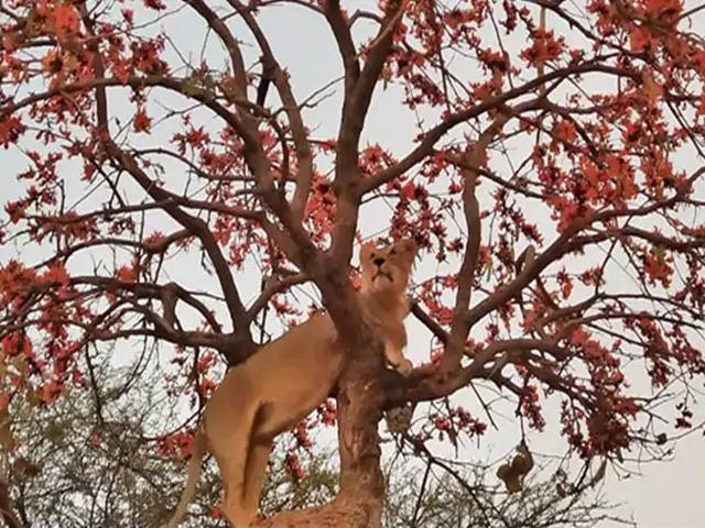 PM मोदी ने शेयर की गिर के शेर की खूबसूरत Photo, हो रही है वायरल