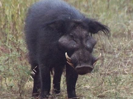 जंगली सुअरों के झुंड ने किया हमला, युवती की आंख निकाली
