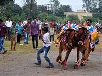 रायपुर में पोला पर्व पर मैदान में दौड़े सजे-धजे बैल