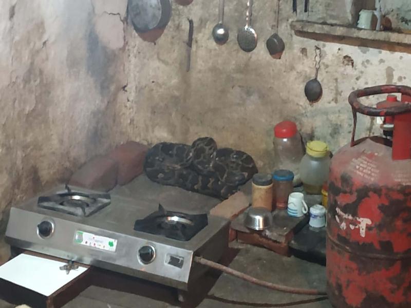 नरसिंहगढ़ में गैस चूल्हे के पीछे बैठा था 12 फीट का अजगर, वृद्ध ने वहीं चाय बनाकर पी